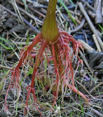 корен на жлезиста слабонога