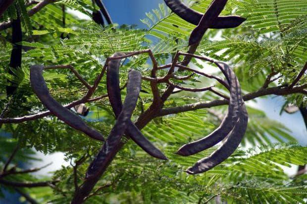 листа и плодове на огнено дърво