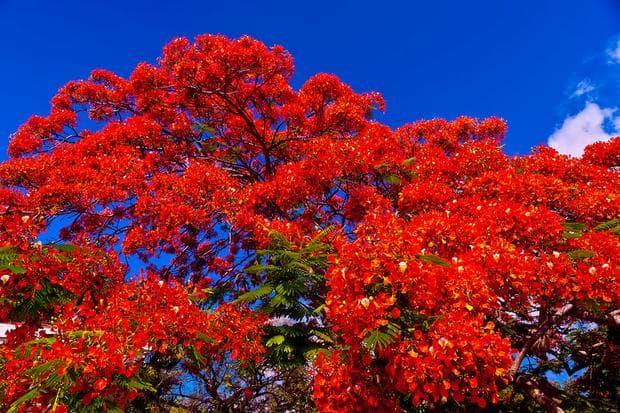 корона на огнено дърво