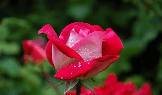 цвят на роза