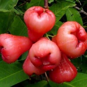 Чомпу, розова ябълка