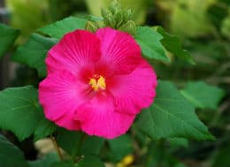 розова китайска роза