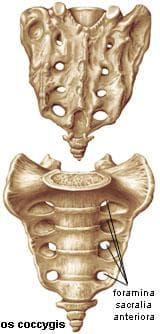 кръстцова кост