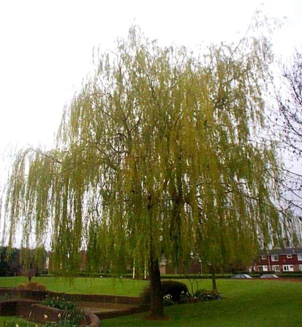бяла върба дърво