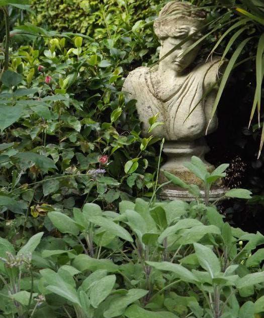 Салвията се използва от древни времена