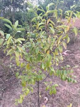 сандалово дърво