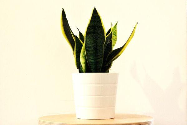 Сенсивиерата е идеалното растение за отглеждане в спалня.