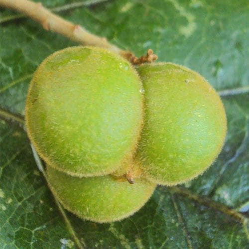 зелен плод на сапунено орехче