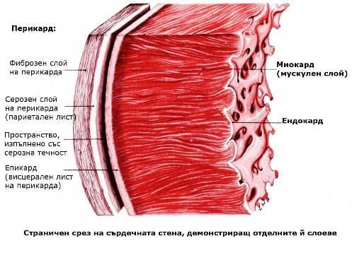Сърдечна стена