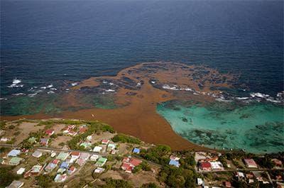 саргасум по карибските брегове