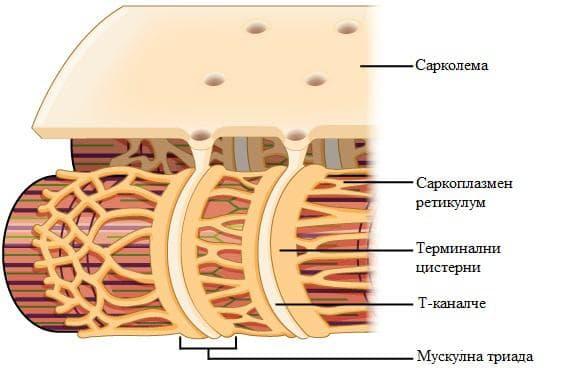 саркоплазмен ретикулум
