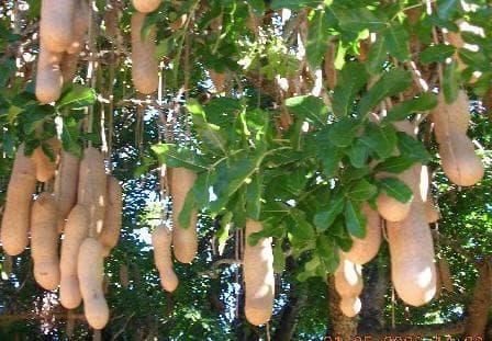 колбасово дърво