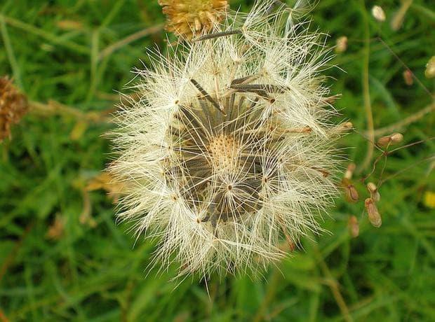 семена на арника