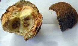 семена на чаулмугра
