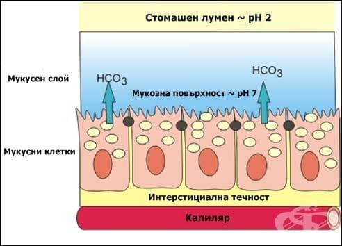 Секреция на слуз в стомаха