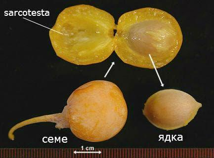ядки на Гинко билоба