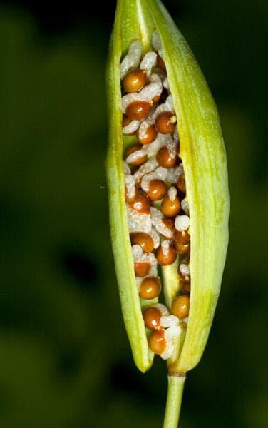 семена на сангвинария