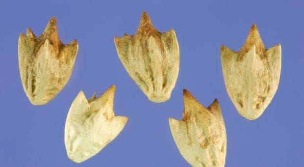 семена на триделна амброзия