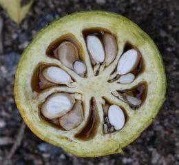 семена на бенгалска дюля