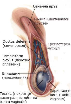 Анатомия на семенна връв