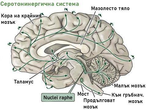 Серотонинергична система