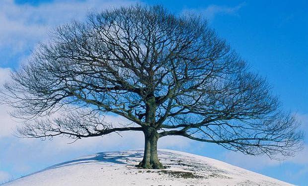 зимен дъб