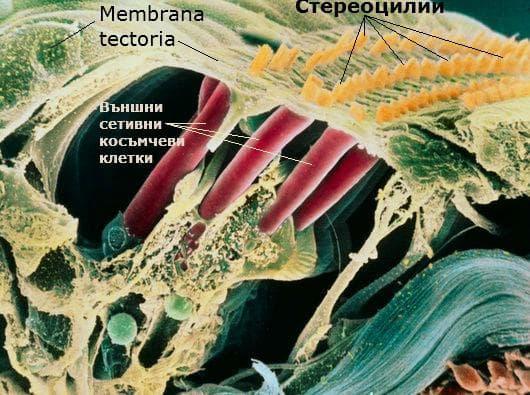 Сетивни косъмчеви клетки