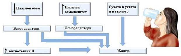 регулиране на водния баланс чрез повлияване на центъра на жаждата