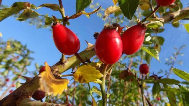 плодове на шипка