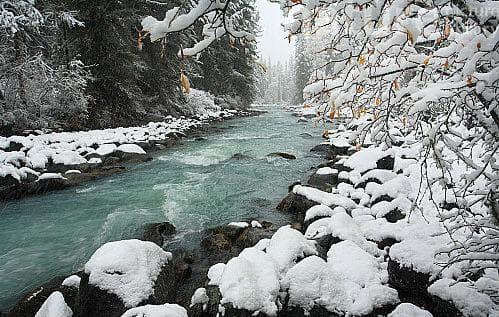 сибирска ела през зимата