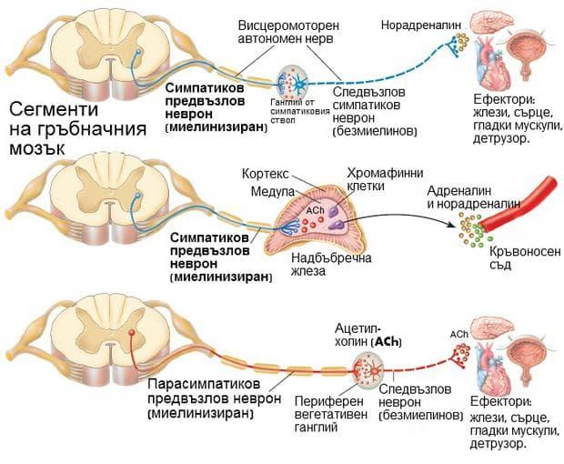 Устройство на симпатикови и парасиматикови неврони