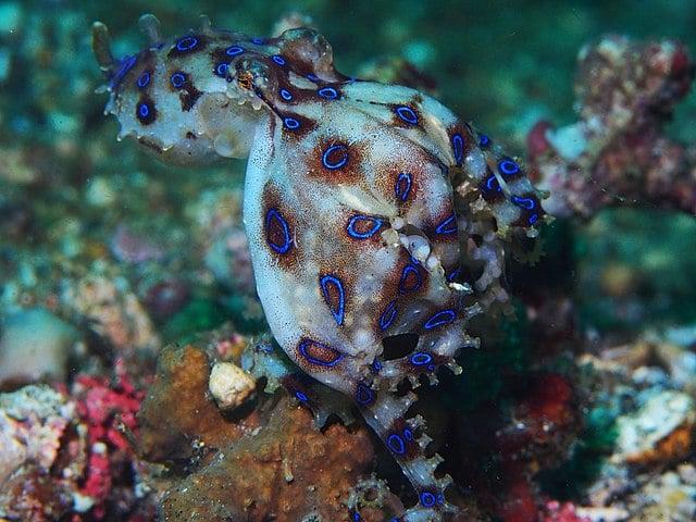 Синьопръстенен октопод