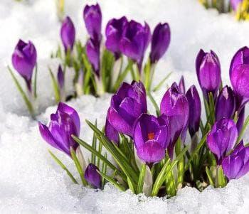 Присъщи на синия минзухар са райони със студена зима и сняг
