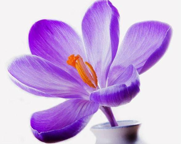 Синият минзухар е символ на достойнство, гордост и успех