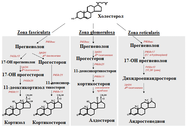синтез на хормоните на надбъбречната кора