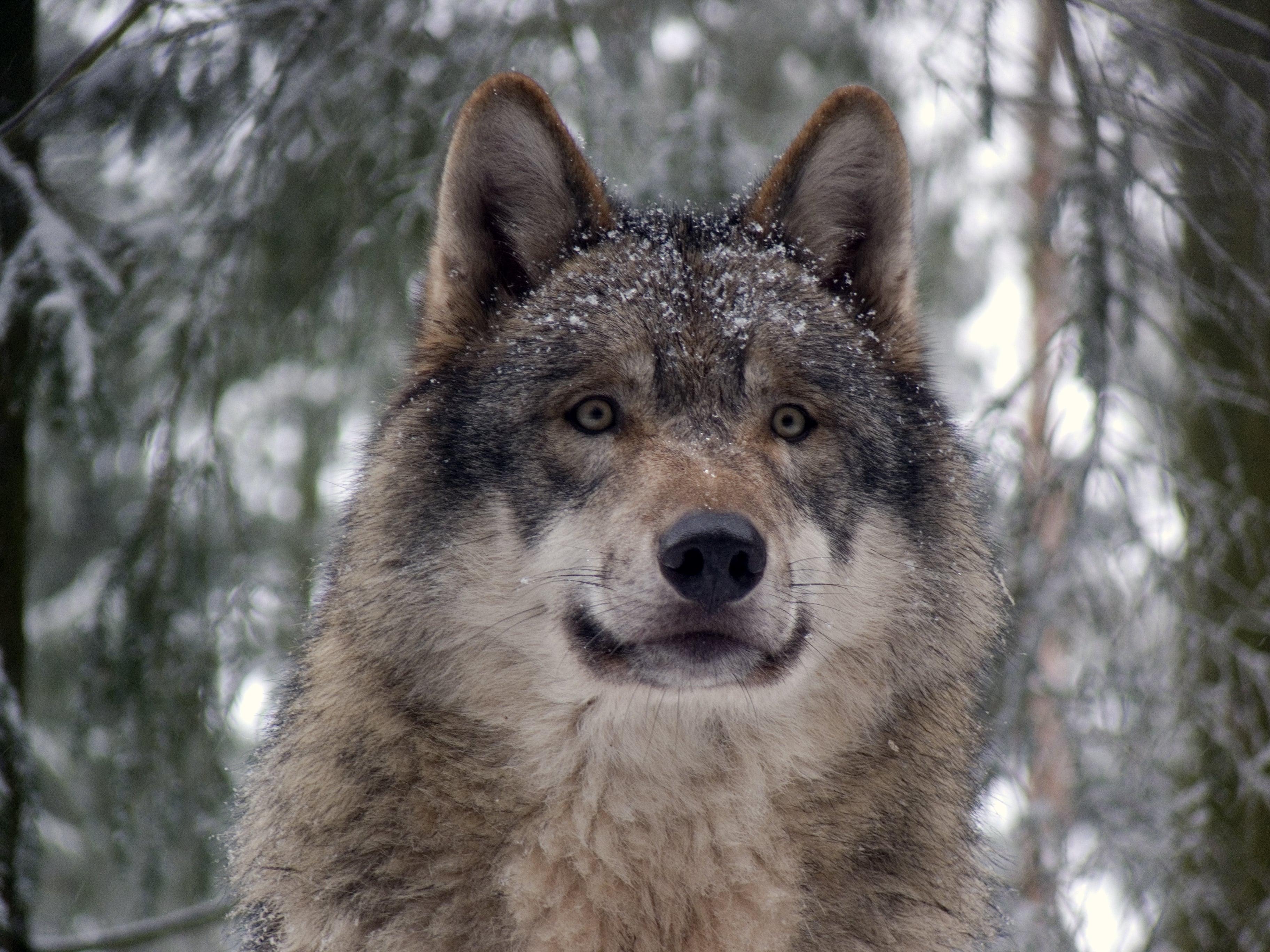 Сив вълк