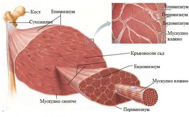 скелетен мускул