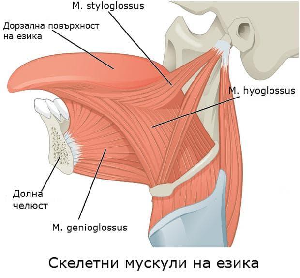 Скелетни мускули на езика