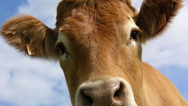 болест ''луда крава''