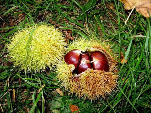 плодове на сладък кестен