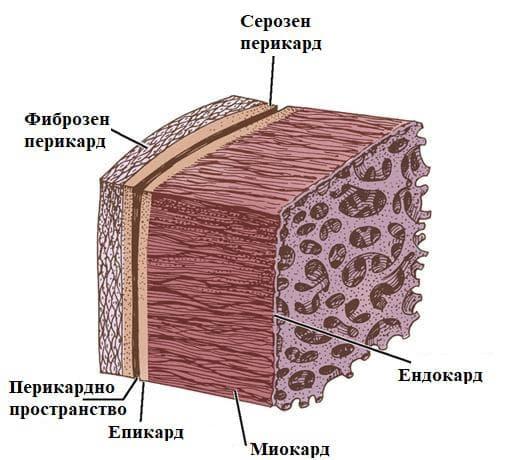 слоеве на сърдечната стена