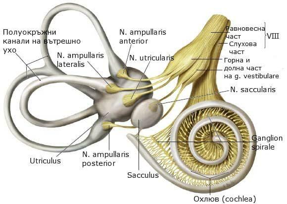 Разклонения на слухово-вестибуларния нерв във вътрешното ухо
