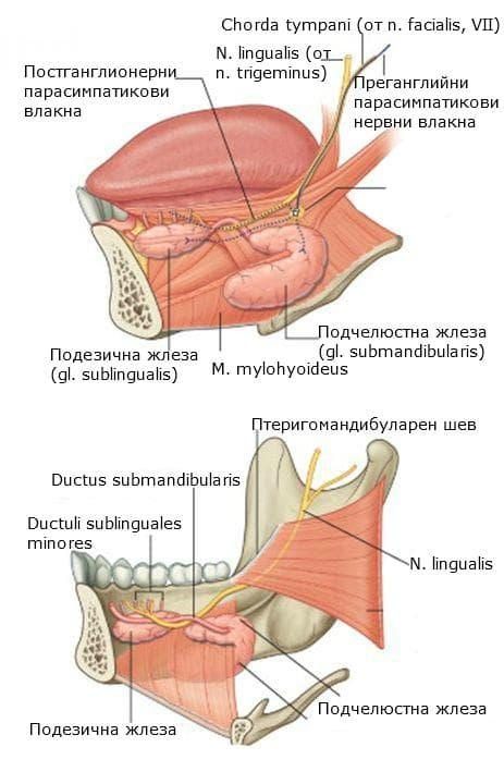 Слюнчени жлези