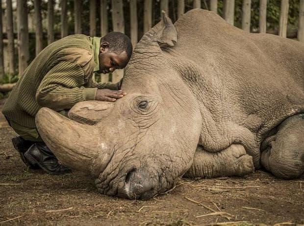 мъжки бял носорог