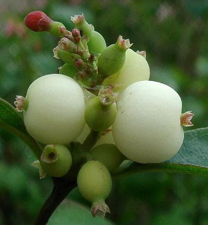 плодове на бял маргарит