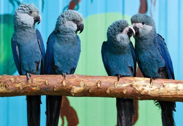 Папагали от вида Спиксов ара