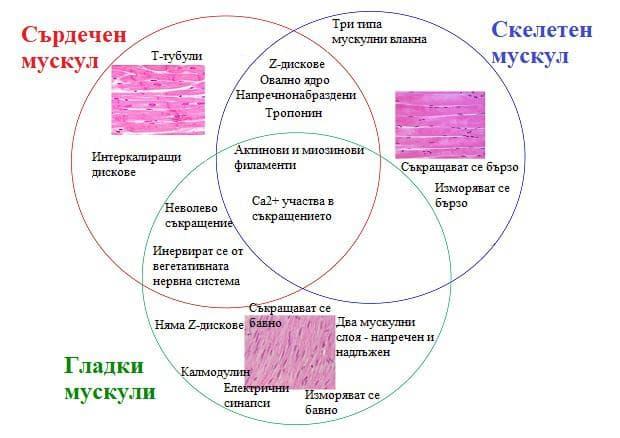 сравнение на основните типове мускулна тъкан