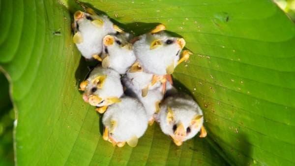 Хондураски бели прилепи