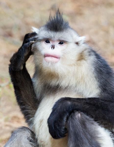 Чипоноса маймуна