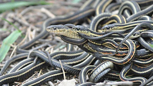 Панделковидни змии